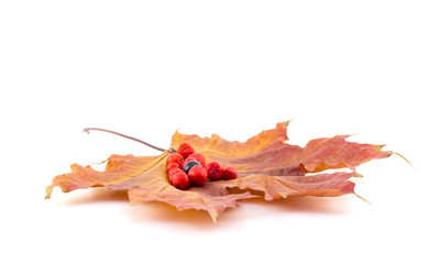 Black and red berries of a mountain ash on a maple autumn leaves