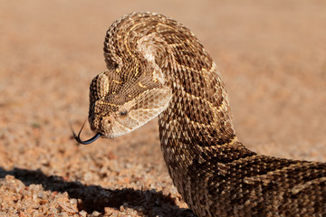 Puff adder (Bitis arietans) in defensive position