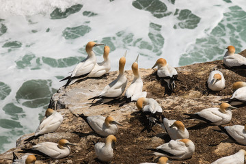 courting gannets on cliffs