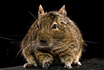 fat degu hamster
