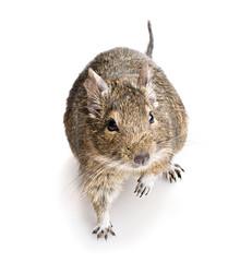 degu rodent
