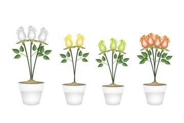 Beautiful Roses in Four Ceramic Flower Pots
