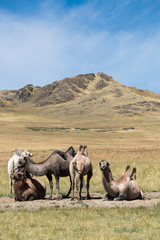 herd of camels on the background of mountains
