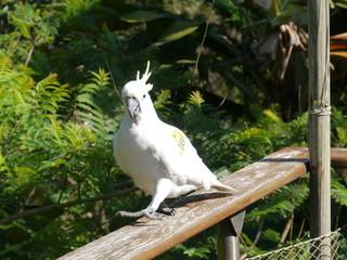The Sulphur-crested Cockatoo or Cacatua galerita