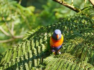 A rainbow lorikeet in a soft fern tree