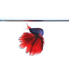 thai red betta fighting fish top form under clear water isolated