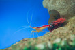 marine shrimp Lysmata amboinensis (Cleaner Shrimp) - 73601964