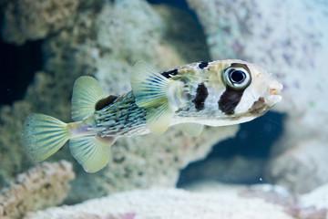 Diodon hystrix - spot-fin porcupinefish