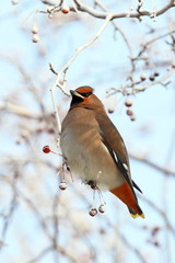 Waxwing on branches