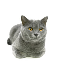beautiful gray cat with yellow eyes isolated on a white backgrou