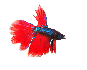 siamese thai red betta fighting fish full body top form isolated