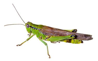 Grasshopper 30