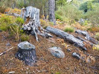 Troncos de pinos en la Garganta de la Graja. Sierra de Gredos.
