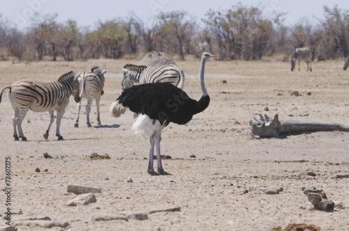 Strauß am Sonderkop-Wasserloch, Etoscha, Namibia, Afrika