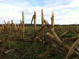 Überreste eines Maisfelds