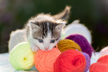 White kitten plays balls of yarn