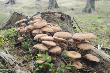 Honey fungus (Armillaria) mushroom