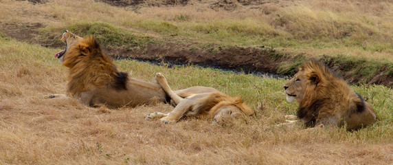 Lions in relax
