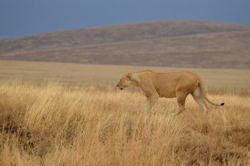 Lonely lioness 2