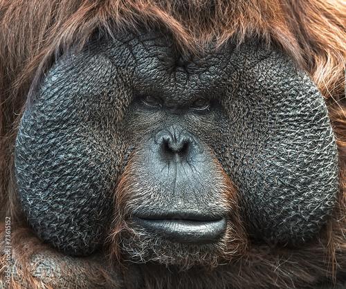 Foto op Canvas Aap Portrait of Orangutan