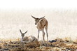 Постер, плакат: Two baby springbok in the Kalahari