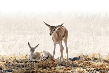 Two baby springbok in the Kalahari