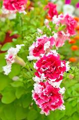 Red petunia flowers in garden