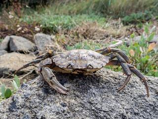 Tote Krabbe 3