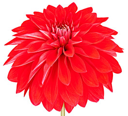 Dahlia, red, colored flower with stem on white background
