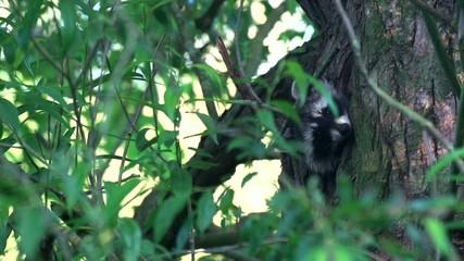 Waschbärbabys im Baum