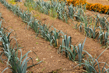 Rows of Leeks