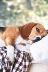 Tired beagle dog on pillow, closeup