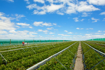 Strawberry field with blue cloudy sky