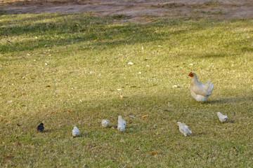 Hen and Chicks walking in Autumn grass
