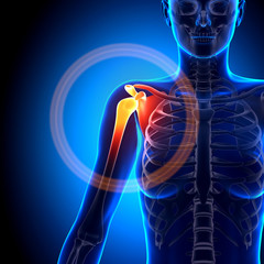 Female Shoulder / Scapula / Clavicle - Anatomy Bones