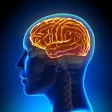 Female Anatomy Brain Full - 73625554