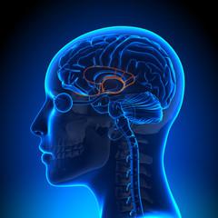 Female Limbic System - Anatomy Brain
