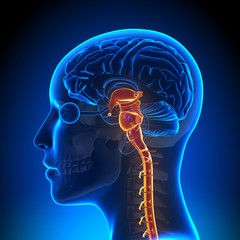 Female Brain Stem with Nerves - Anatomy Brain