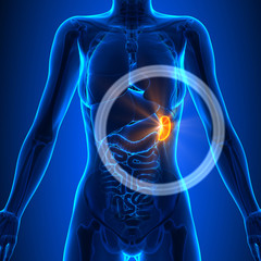 Spleen - Female Organs - Human Anatomy
