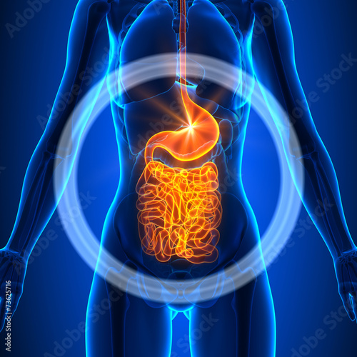 Fototapeta Guts - Female Organs - Human Anatomy
