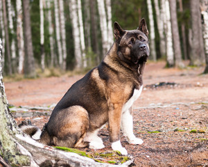 big dog sitting in the forest