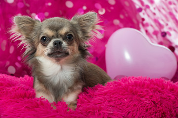 Chihuahua mit Herz