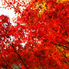 Roter Ahorn im Herbst