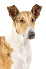 Golden smooth (short haired) Collie isolated on white