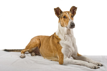 Golden smooth collie lying on the blanket