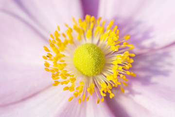 Anemone Pink flower with yellow stamens September Charm