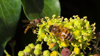 A marmalade hoverfly and a honey bee harvesting pollen
