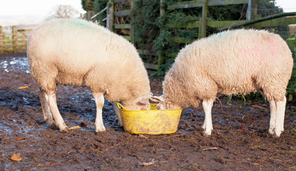 Pair of sheep sharing a bucket of feed