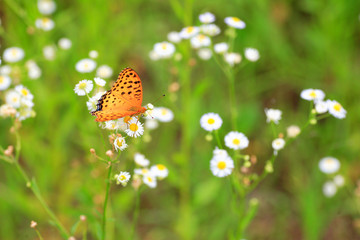 Indian Fritillary (Argyreus hyperbius) in Japan