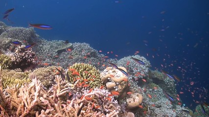 Coral reef with Anthias and Fusilier